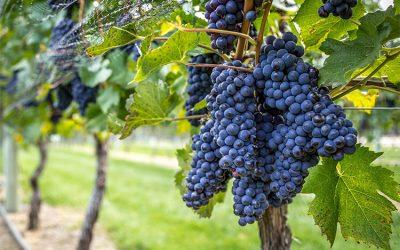 Degustazione Pinot Nero Italia vs Francia: chi vincerà?